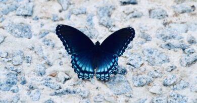 blue and black butterfly meaning