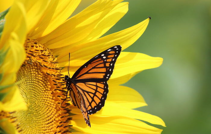 yellow and black butterfly meaning