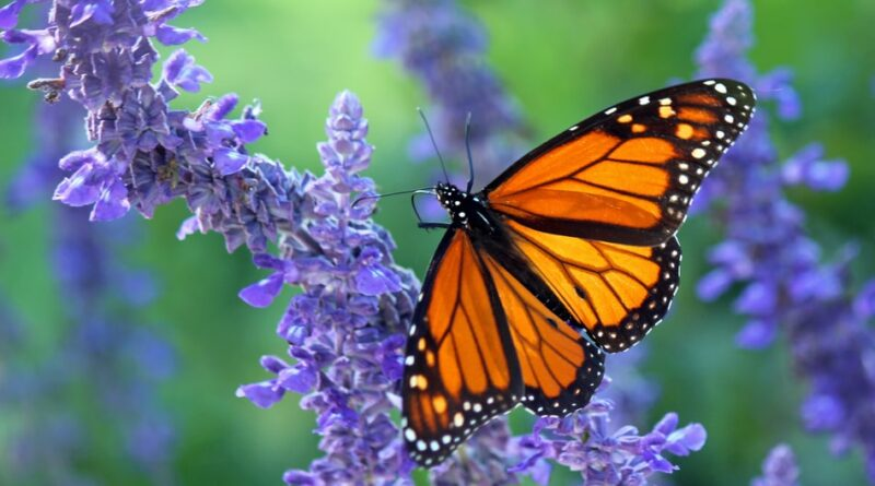 monarch butterfly meaning