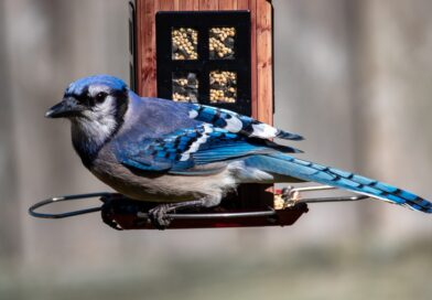 Spiritual Meaning Of A Blue Jay